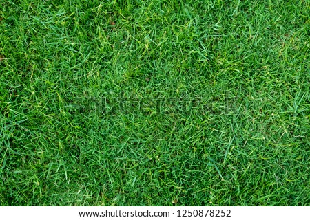 Green grass texture for background. Green lawn pattern and texture background. Close-up. #1250878252