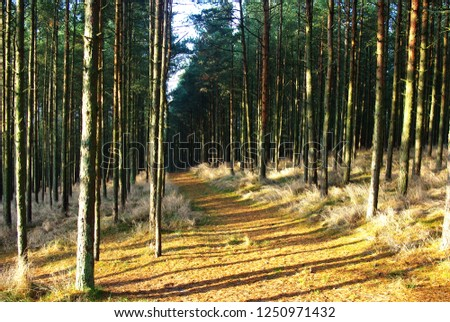 Curonian Spit dancing forest #1250971432