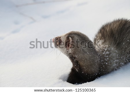 Mustela putorius furo, walking in the snow #125100365