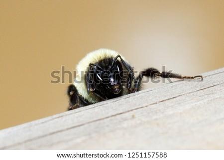 Closeup of a bee sitting on a wood rail. #1251157588
