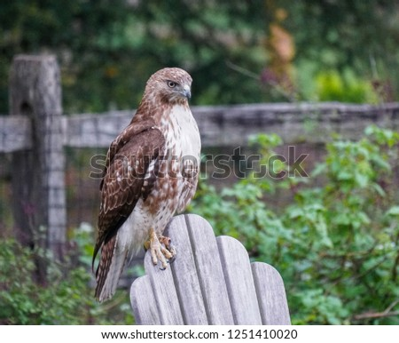Red tailed Hawk #1251410020