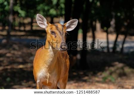 Barking deer or muntjac deer #1251488587