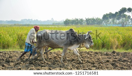 Front close up view of two oxen and the farmer, cultivator ploughing or plowing his land with the plow, plough and in background is ripe rice paddy #1251716581
