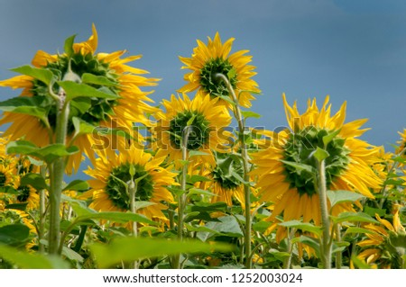 Yellow sunflowers on the background of the summer sky #1252003024