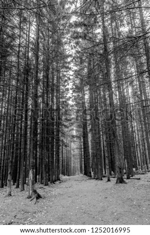 Black and white image of towering trees in line in a lush forest on a winter day in a forest of the Belgian Ardennes #1252016995