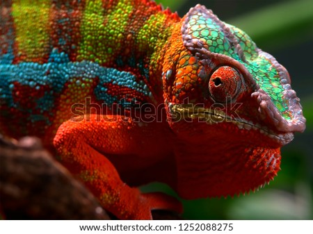 The chameleon of beautiful colors in the forest #1252088275