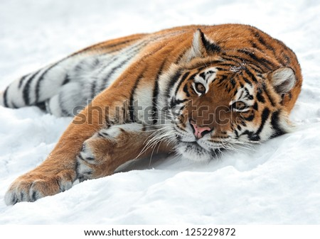 Portrait of a Siberian Tiger #125229872