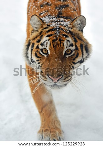 Portrait of a Siberian Tiger #125229923