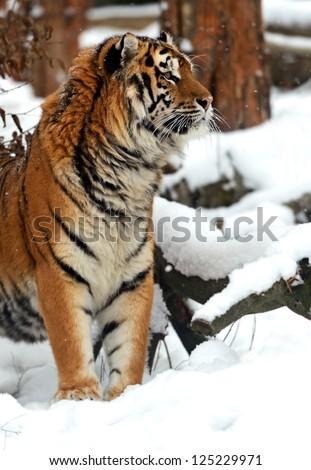 Portrait of a Siberian Tiger #125229971