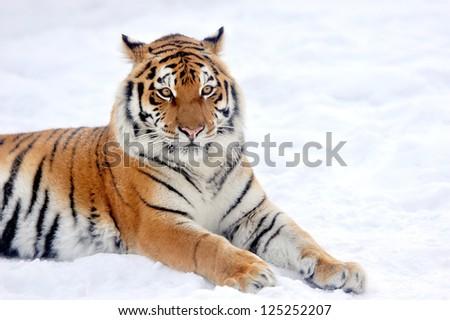 Beautiful wild siberian tiger on snow #125252207