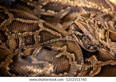 A picture of a beautiful (Burmese Python) Snake at Siam Serpentarium(snake museum),Ladkrabang,Bangkok,Thailand