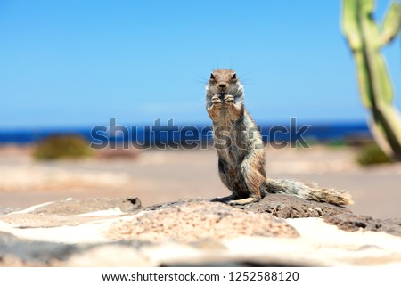 One gopher. Nice close up wildlife photography.