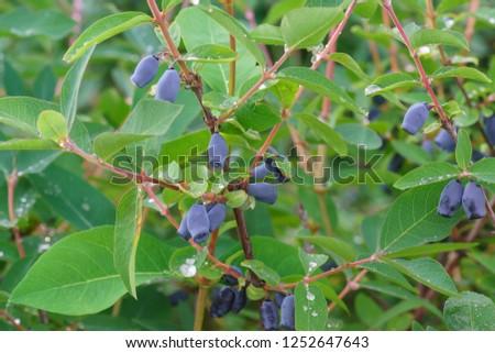 A lot of ripe berries of blue honeysuckle (lat. Lonicera caerulea) forms Kamchatka varieties Kamchadalka on the branch of the Bush. Spring harvest #1252647643