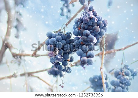 Ice wine. Wine red grapes for ice wine in winter condition and snow. Frozen grapes covered by white flake ice, The sweetest wine is from grapes shredded after the first frost. Moravia, Czech Republic #1252733956