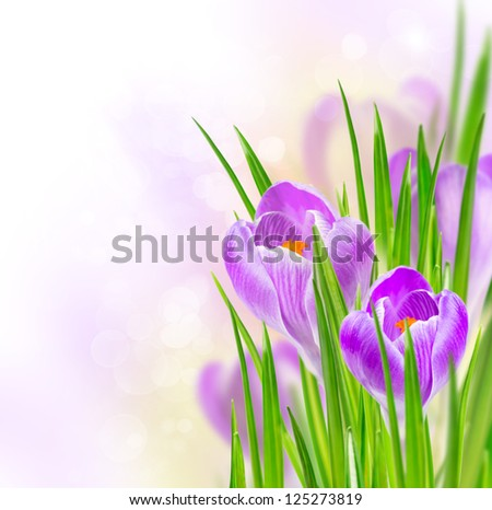 spring crocus flowers on a soft background bokeh #125273819
