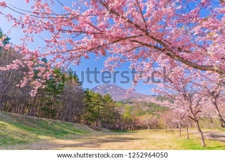 Spring in Japan, the showa-no-mori cherry blossom trees in fukushima inawashiro. #1252964050