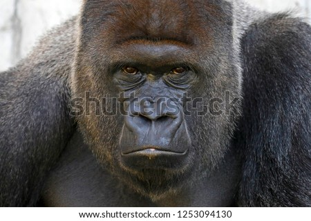 Gorilla, (Gorilla gorilla, gorilla), male, silverback, captive #1253094130