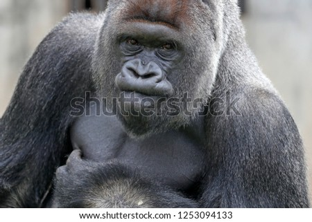 Gorilla, (Gorilla gorilla, gorilla), male, silverback, captive #1253094133