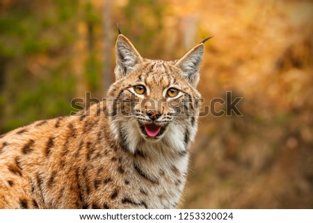 Adult eursian lynx in autmn forest gazing to the camera. Endangered predator in natural environment in evening light with vivid colors. #1253320024