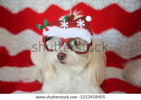 Funny Dog Photo. A beautiful white dog pose while wearing Christmas Fashion Glasses. Red and white quilt background.