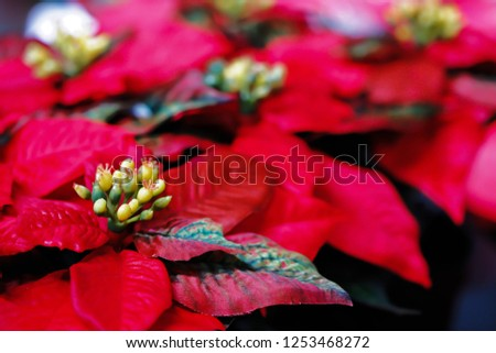 Red poinsettia plastic in black pots lay for sale to customers on christmas festive. #1253468272