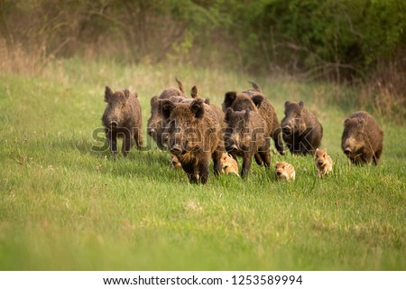 Group of wild boars, sus scrofa, running in spring nature. Action wildlife scenery of a family with small piglets moving fast forward to escape from danger. #1253589994