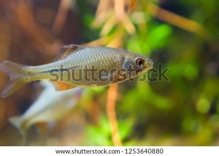 Rhodeus amarus, European bitterling, young male ornamental freshwater fish in biotope aquarium, closeup side view nature photo #1253640880