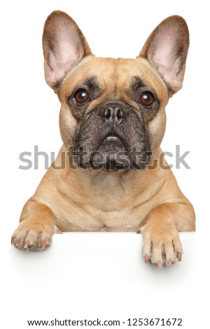French Bulldog above banner, isolated on white background. Animal themes #1253671672