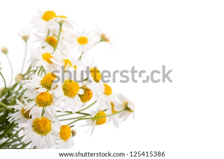 Many white flowerheads of chamomile isolated on white background. #125415386