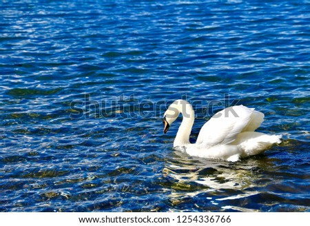 White Swan in Lake #1254336766
