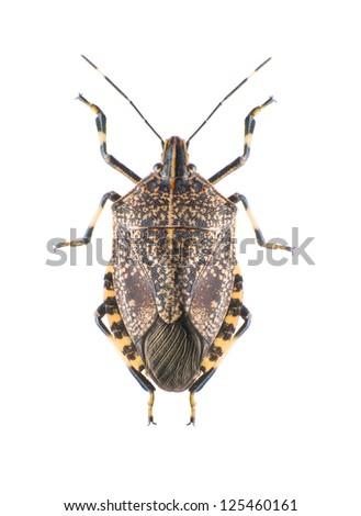 Close-up the stinkbug isolated in white background