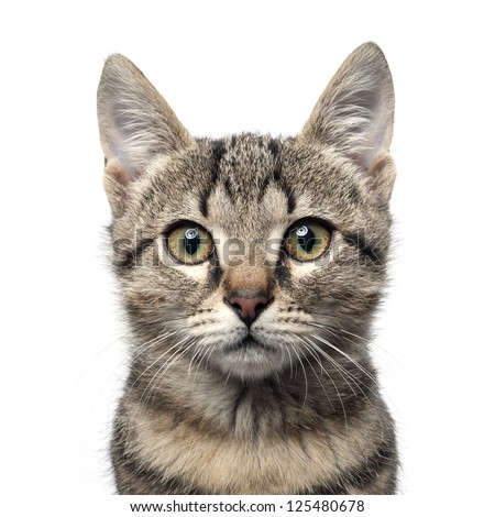 Little gray kitten portrait up isolated on white background. #125480678