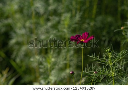 Focus on a burgundy cosmos flower on a blurred and dynamic green background #1254915289
