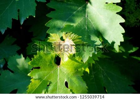 Green grape leaves #1255039714