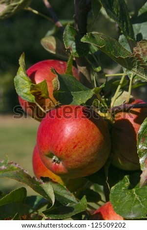 apples on a branch #125509202