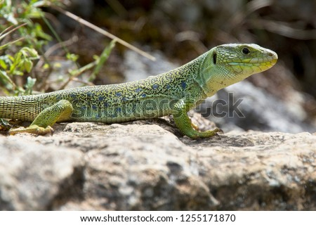 Eyed Lizard (also known as Ocellated Lizard or Jewelled Lizard, Timon lepidus) is IUCN Red Listed as near Theatened, Picos de Europa, Asturias, Spain. #1255171870