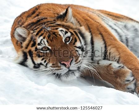 Portrait of a Siberian Tiger #125546027