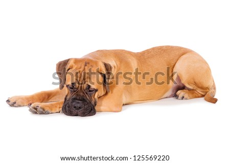bullmastiff puppy lying on a white background. dog portrait isolated. age 6 months #125569220