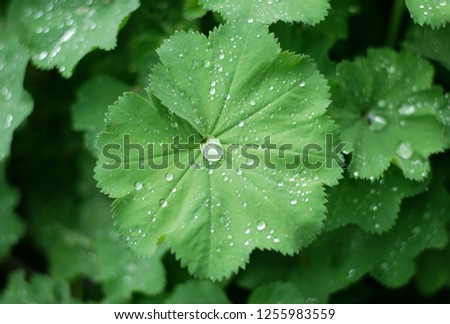 Water drops on alchemilla vulgaris plant  #1255983559