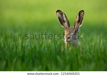 Lepus. Wild European Hare, Lepus Europaeus, Close-Up On Green Background. Wild Brown Hare With Yellow Eyes, Sitting On The Green Grass Under The Sun. Muzzle Of European Brown Hare Among Green Wheat #1256068201