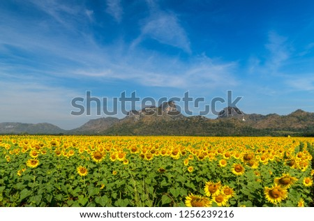 Sunflowers field farm in Lop buri, beautiful flower field concept #1256239216