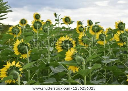 blooming sunflower field in bright blue sky #1256256025