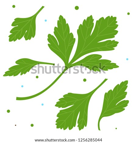 Parsley. Green parsley leaves. Vector illustration of a plant on a white background. #1256285044