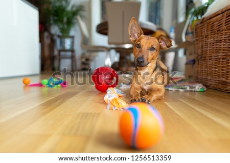 Little dog at home in the living room playing with his toys #1256513359