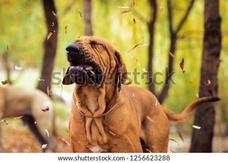 Funny face wrinkled Fila Brasileiro (Brazilian Mastiff) making silly face of distaste, sneezing, seasonal allergy concept #1256623288