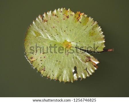Green lotus leaf in water #1256746825