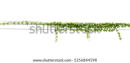 ivy plant hanging on pole electric isolate white background #1256844598
