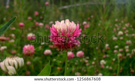 Trifolium repens white pink flowers #1256867608