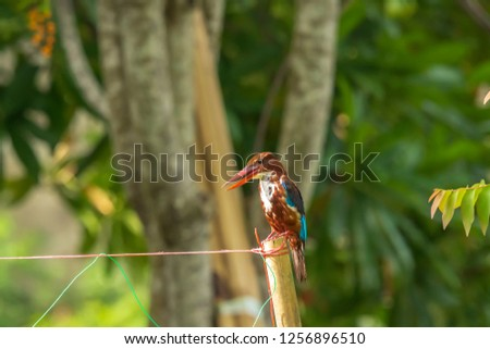 White-throated Kingfisher (Halcyon smyrnensis) in Thailand #1256896510