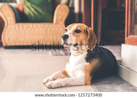 Portrait of cute female beagle dog. #1257273400